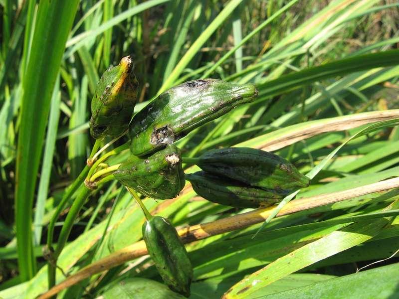 Früchte einer Sumpf-Schwertlilie (Iris pseudacorus) im NSG Pillebachtal; Foto: 16.08.2009, Düsseldorf-Ludenberg