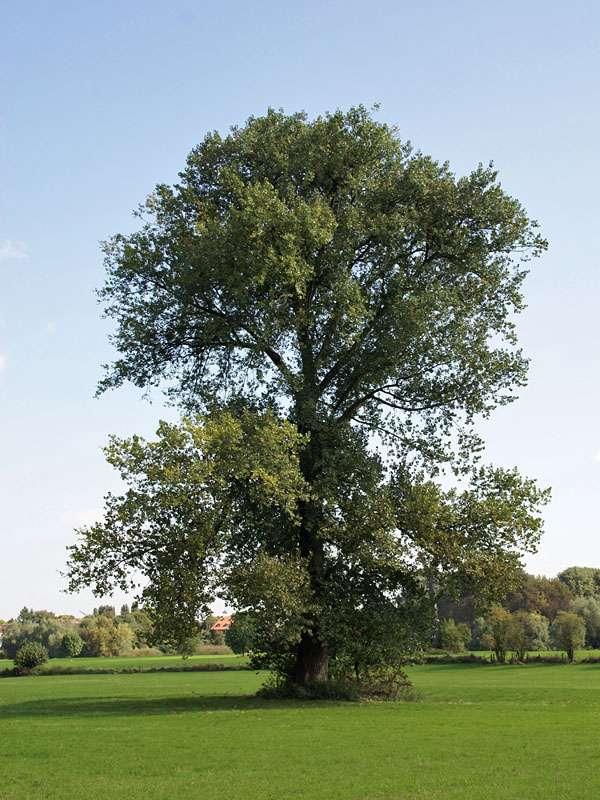 Baum in der Urdenbacher Kämpe; Foto: 26.09.2008, Düsseldorf-Urdenbach