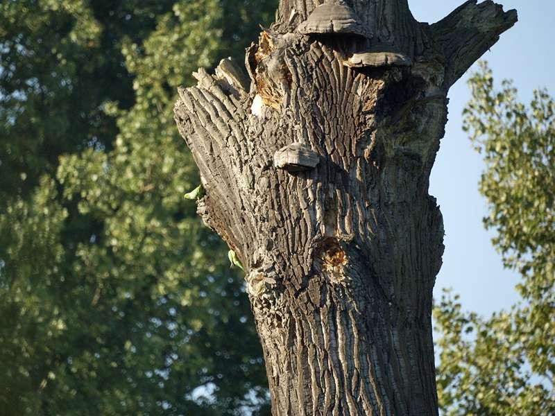 Halsbandsittiche (Psittacula krameri) erkunden einen Baum in der Urdenbacher Kämpe; Foto: 25.09.2009, Düsseldorf-Urdenbach
