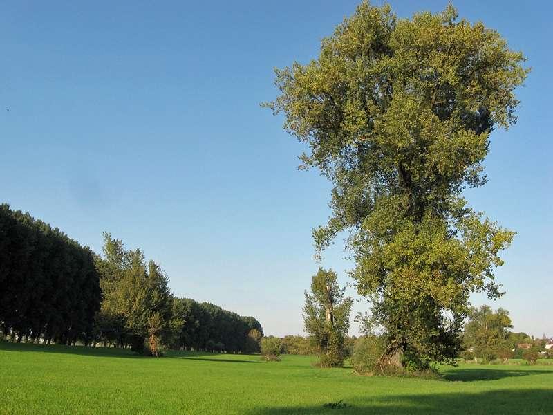Mächtiger Baum in der Urdenbacher Kämpe; Foto: 26.09.2009, Düsseldorf-Urdenbach
