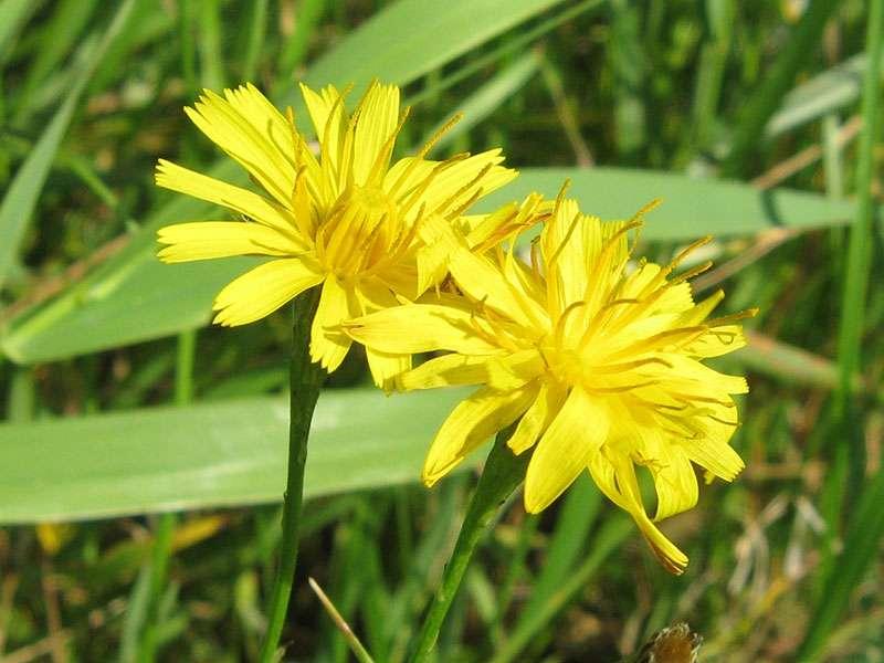 Unbestimmte Pflanze Nr. 1 am Rheinufer Volmerswerth; Foto: 31.08.2008, Düsseldorf-Volmerswerth