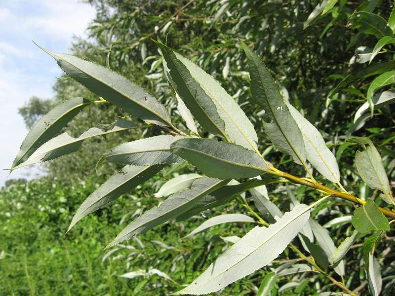 Weide (Salix sp.) am Rheinufer Volmerswerth; Foto: 31.08.2008, Düsseldorf-Volmerswerth