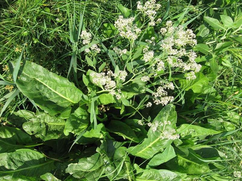 Meerrettich (Armoracia rusticana) am Rheinufer Volmerswerth; Foto: 31.08.2008, Düsseldorf-Volmerswerth