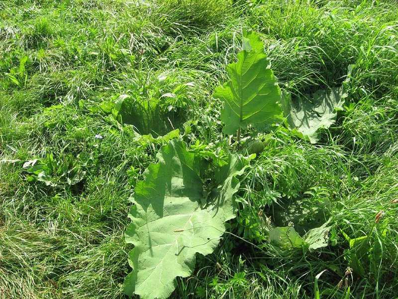 Unbestimmte Pflanze Nr. 3 am Rheinufer Volmerswerth; Foto: 31.08.2008, Düsseldorf-Volmerswerth
