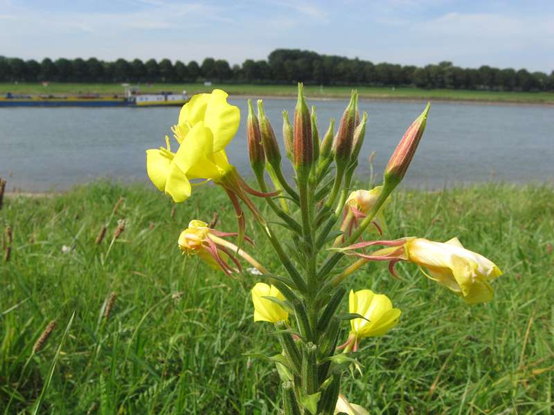 Rotkelchige Nachtkerze (Oenothera glazioviana) am Rheinufer Volmerswerth; Foto: 31.08.2008, Düsseldorf-Volmerswerth