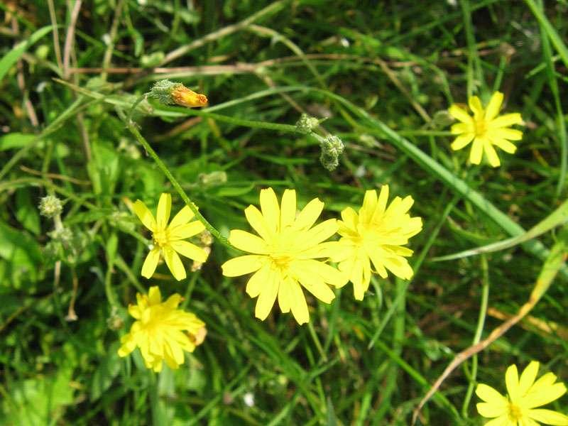 Unbestimmte Pflanze Nr. 2 am Rheinufer Volmerswerth; Foto: 31.08.2008, Düsseldorf-Volmerswerth