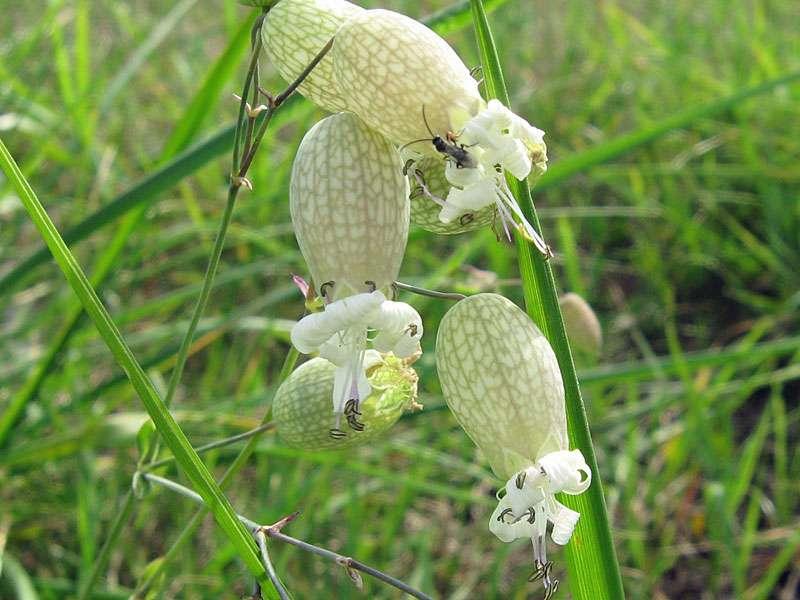 Taubenkropf-Lichtnelke (Silene vulgaris) am Rheinufer Volmerswerth; Foto: 31.08.2008, Düsseldorf-Volmerswerth