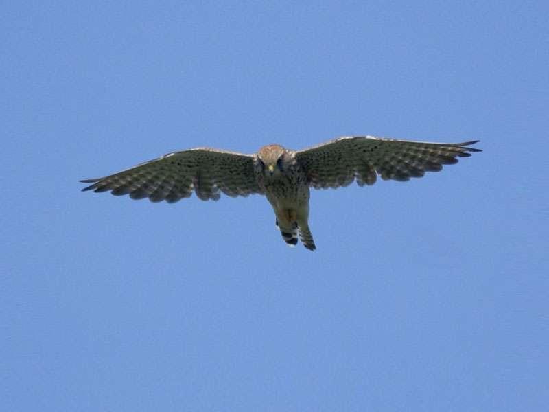 Turmfalke (Falco tinnunculus) am Rheinufer Volmerswerth; Foto: 31.08.2008, Düsseldorf-Volmerswerth