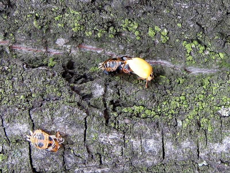 Schlüpfender Asiatischer Marienkäfer (Harlequin Ladybird, Harmonia axyridis); Foto: 02.06.2008, Düsseldorf-Flingern