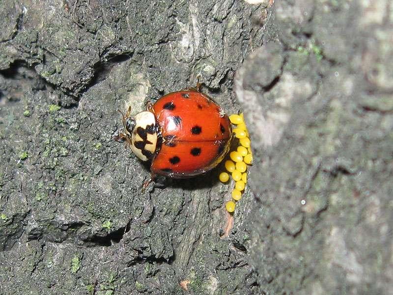 Asiatischer Marienkäfer (Harlequin Ladybird, Harmonia axyridis) bei der Eiablage, rote Farbvariante; Foto: 10.06.2010, Düsseldorf-Flingern
