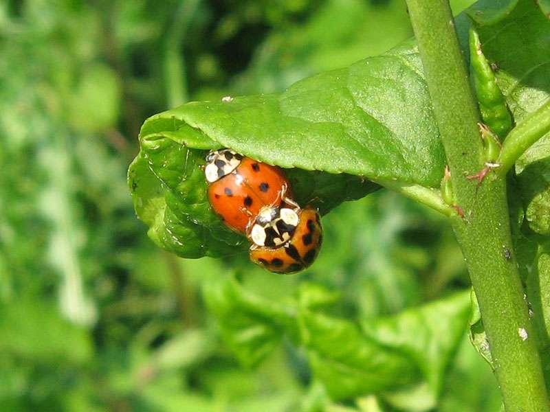 Asiatische Marienkäfer (Harlequin Ladybird, Harmonia axyridis) bei der Paarung, rote Farbvariante; Foto: 01.05.2009, Düsseldorf-Himmelgeist