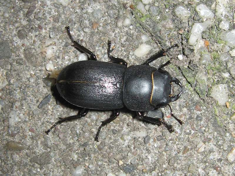 Balkenschröter (Lesser Stag Beetle, Dorcus parallelipipedus); Foto: 24.06.2010, Düsseldorf-Ludenberg