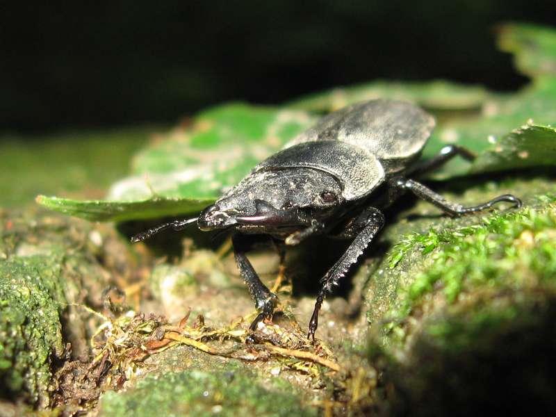 Balkenschröter (Lesser Stag Beetle, Dorcus parallelipipedus); Foto: 09.08.2008, Düsseldorf-Ludenberg