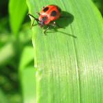 Stäublingskäfer (Handsome Fungus Beetles, Endomychidae)