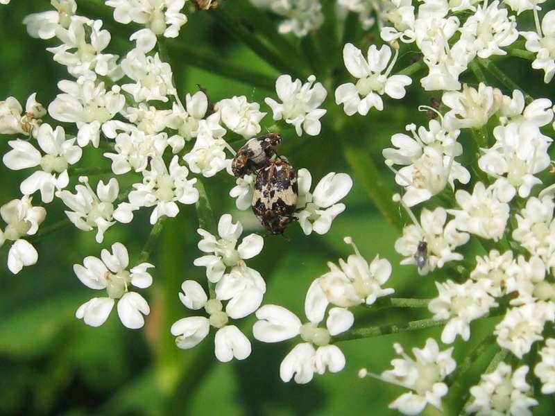Bibernellen-Blütenkäfer (Burnet Flower Beetle, Anthrenus pimpinellae); Foto: 21.05.2011, Düsseldorf-Hubbelrath