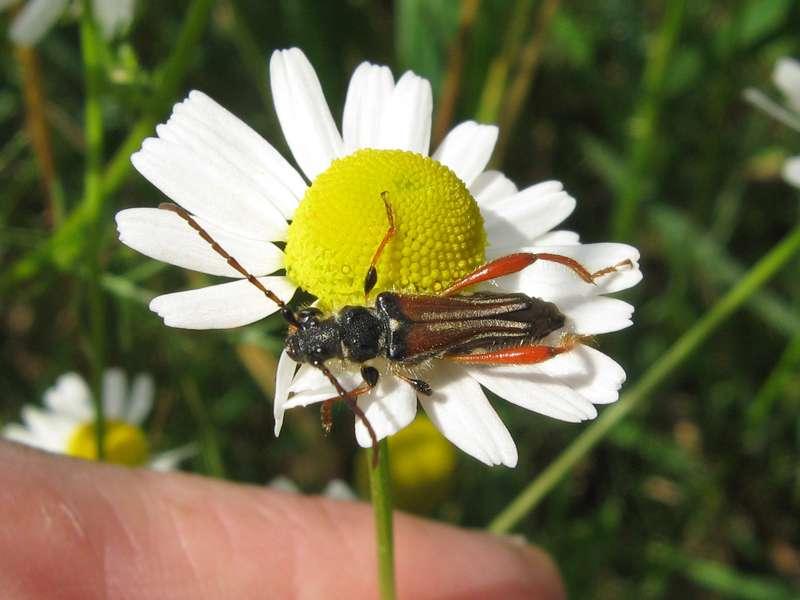 Braunrötlicher Spitzdeckenbock (Red Round-necked Longhorn Beetle, Stenopterus rufus); Foto: 12.06.2011, Düsseldorf-Ludenberg