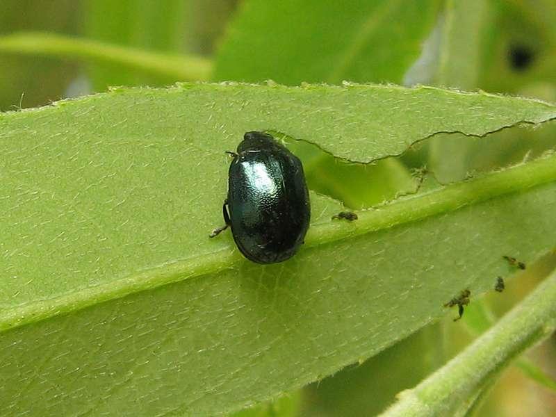 Breiter Weidenblattkäfer (Imported Willow Leaf Beetle, Plagiodera versicolora); Foto: 09.05.2010, Düsseldorf-Grafenberg