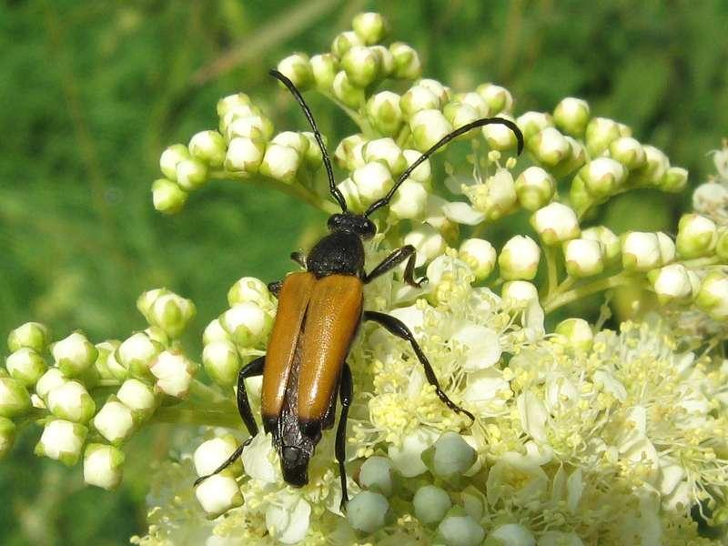 Schwarzspitziger Halsbock (Tawny Longhorn Beetle, Paracorymbia fulva); Foto: 04.07.2009, Erkrath-Reutersberg