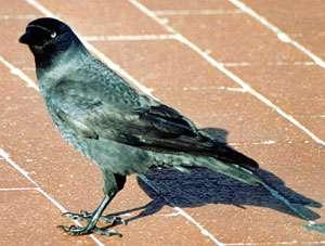 Dohle (Jackdaw, Corvus monedula); Foto: Oktober 2001, Ortschaft