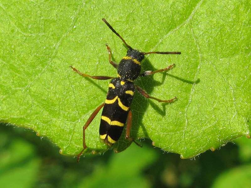 Echter Widderbock (Wasp Beetle, Clytus arietis); Foto: 06.06.2010, Düsseldorf-Gerresheim