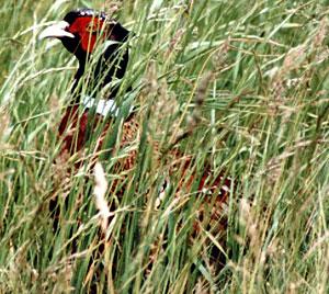 Männlicher Fasan (Common Pheasant, Phasianus colchicus); Foto: Mai 2002, westliches Schutzgebiet