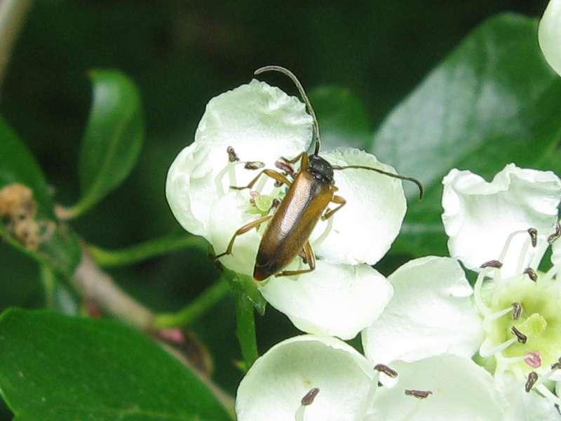 Feldahorn-Bock (Tobacco-coloured Longhorn Beetle, Alosterna tabacicolor); Foto: 16.05.2010, Düsseldorf-Unterbach