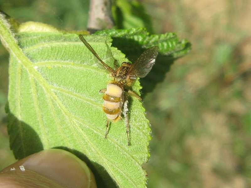 Fliegentöter (Fly Killer, Entomophthora muscae); Foto: 10.04.2011, Düsseldorf-Ludenberg