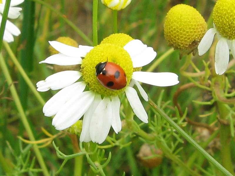 Fünfpunkt-Marienkäfer (5-spot Ladybird, Coccinella quinquepunctata); Foto: 26.06.2011, Düsseldorf-Ludenberg