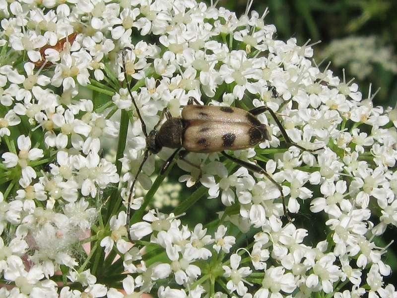 Gefleckter Blütenbock (Speckled Longhorn Beetle, Pachytodes cerambyciformis); Foto: 13.06.2009, Erkrath-Reutersberg