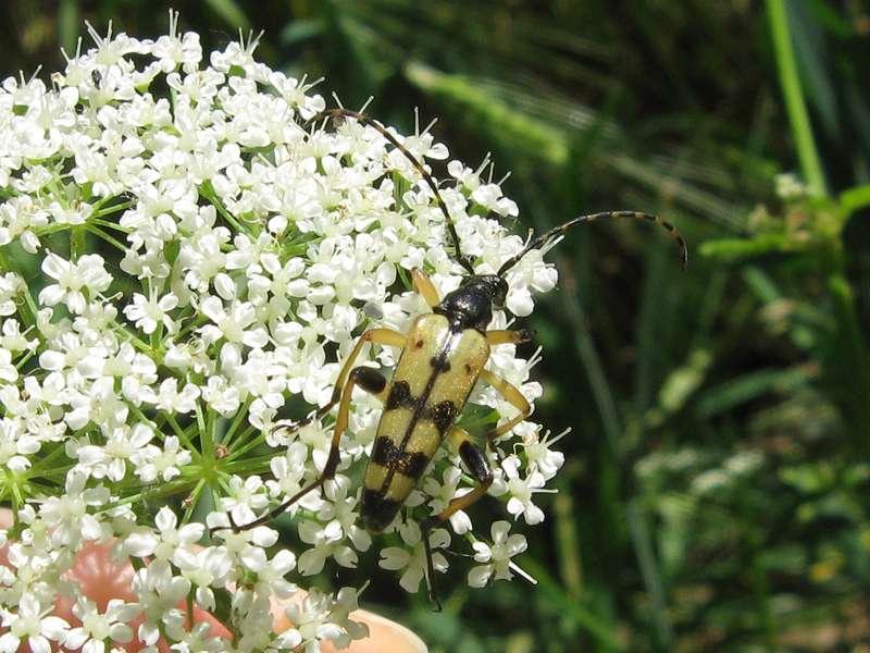 Gefleckter Schmalbock (Spotted Longhorn Beetle, Rutpela maculata); Foto: 13.06.2009, Erkrath-Reutersberg