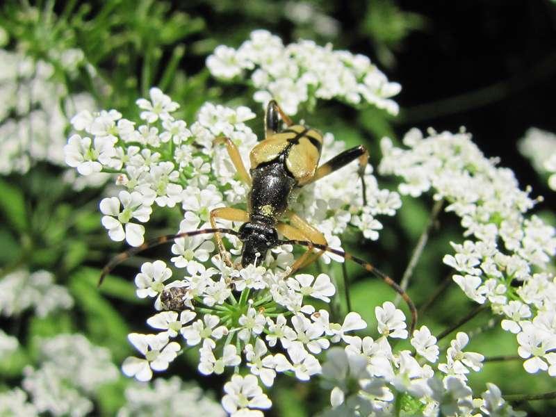 Gefleckter Schmalbock (Rutpela maculata); Foto: 26.06.2010, Erkrath-ReutersbergGefleckter Schmalbock (Spotted Longhorn Beetle, Rutpela maculata); Foto: 26.06.2010, Erkrath-Reutersberg