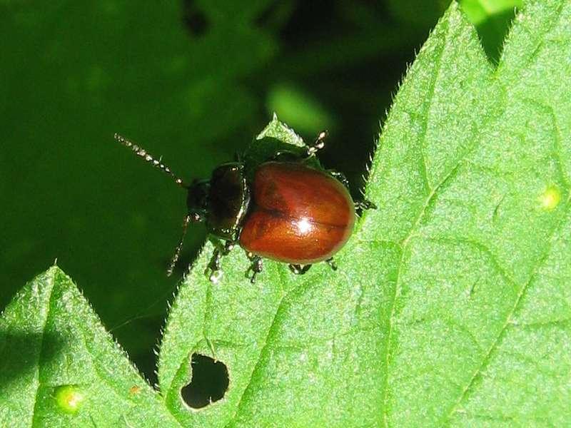 Geglätteter Blattkäfer (Knotgrass Leaf Beetle, Chrysolina polita); Foto: 16.05.2010, Düsseldorf-Eller