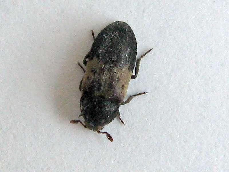 Gemeiner Speckkäfer (Larder Beetle, Dermestes lardarius); Foto: 25.06.2009, Düsseldorf-Grafenberg
