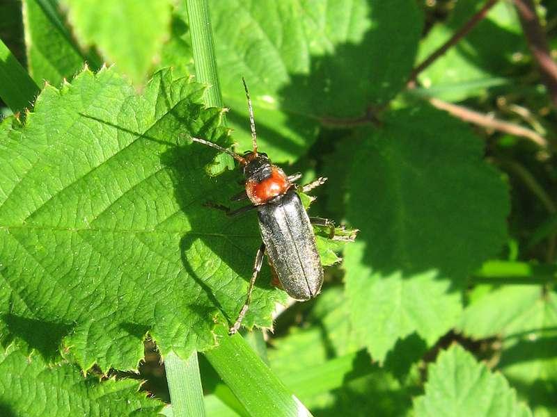 Gemeiner Weichkäfer (Common Dark Soldier Beetle,Cantharis fusca); Foto: 05.06.2010, Düsseldorf-Ludenberg