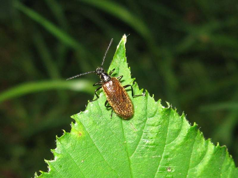 Gemeiner Wollkäfer (Common Hairy Brown Darkling Beetle, Lagria hirta); Foto: 17.07.2010, Düsseldorf-Ludenberg