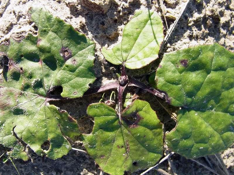 Unbestimmte Pflanzenart Nr. 1; Foto: 27.10.2012, NSG Leyhörn/Krummhörn