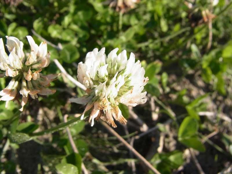 Weiß-Klee (White Clover, Trifolium repens); Foto: 27.10.2012, NSG Leyhörn/Krummhörn