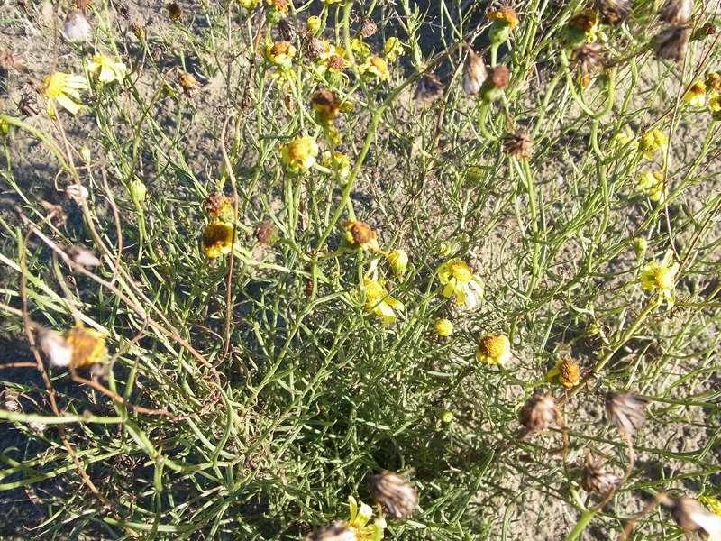 Unbestimmte Pflanzenart Nr. 4; Foto: 27.10.2012, NSG Leyhörn/Krummhörn