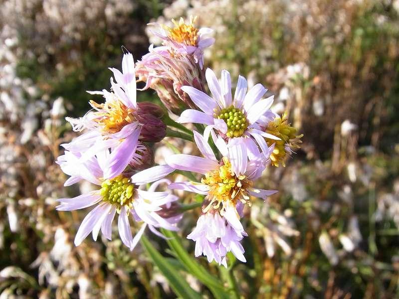 Strand-Aster (Sea Aster, Tripolium pannonicum); Foto: 30.10.2012, NSG Leyhörn/Krummhörn