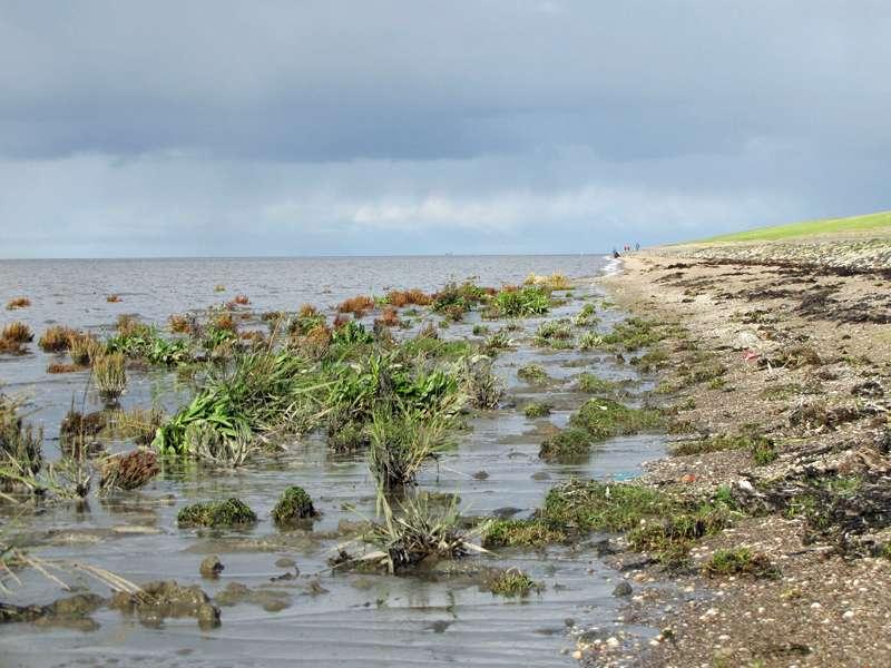 Vom Wegesrand aus lässt sich die Vegetation des Wattenmeeres beobachten; Foto: 30.10.2012, NSG Leyhörn/Krummhörn