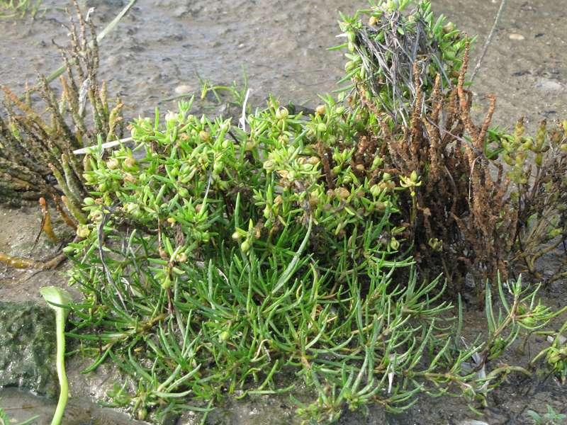 Unbestimmte Pflanzenart Nr. 9; Foto: 30.10.2012, NSG Leyhörn/Krummhörn