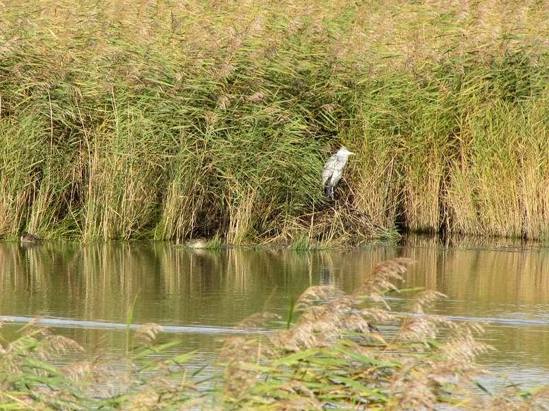 Graureiher (Ardea cinerea cinerea) am Ufer einer Kleipütte; Foto: 30.10.2012, Hauen/Krummhörn
