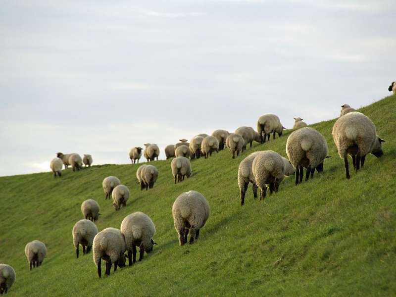 Schafe gehören zu den leicht zu beobachtenden Tieren im Naturschutzgebiet; Foto: 30.10.2012, NSG Leyhörn/Krummhörn
