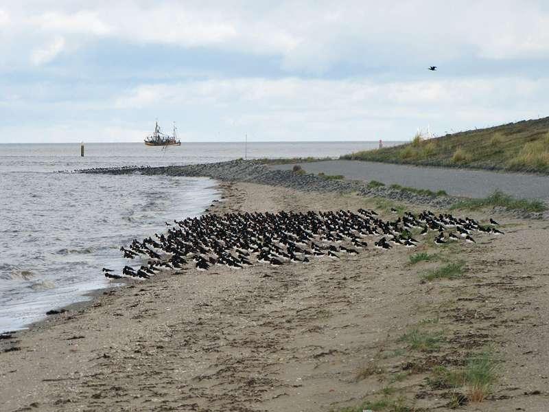 Austernfischer (Haematopus ostralegus) rasten am Strand; Foto: 30.10.2012, NSG Leyhörn/Krummhörn