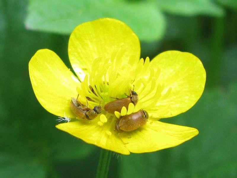Großäugiger Himbeerkäfer (Raspberry Beetle, Byturus ochraceus); Foto: 07.05.2011, Düsseldorf-Gerresheim