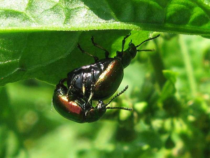 Grüner Sauerampferkäfer (Green Dock Leaf Beetle, Gastrophysa viridula), Paarung; Foto: 06.06.2010, Düsseldorf-Gerresheim
