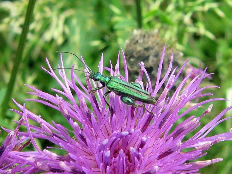 Männlicher Grüner Scheinbockkäfer (Thick Legged Flower Beetle, Oedemera nobilis); Foto: 13.06.2010, Düsseldorf-Himmelgeist