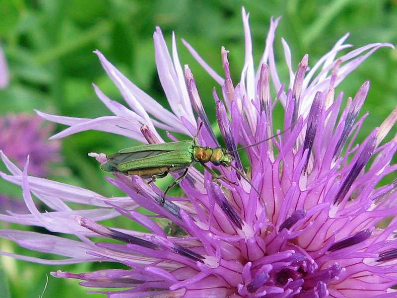 Weiblicher Grüner Scheinbockkäfer (Thick Legged Flower Beetle, Oedemera nobilis); Foto: 13.06.2010, Düsseldorf-Himmelgeist