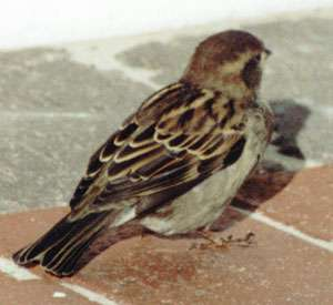Weiblicher Haussperling (House Sparrow, Passer domesticus); Foto: Oktober 2001, Ortschaft