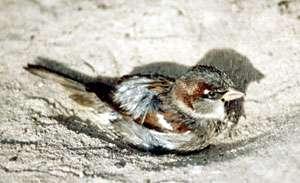 Männlicher Haussperling (House Sparrow, Passer domesticus); Foto: Oktober 2001, Ortschaft